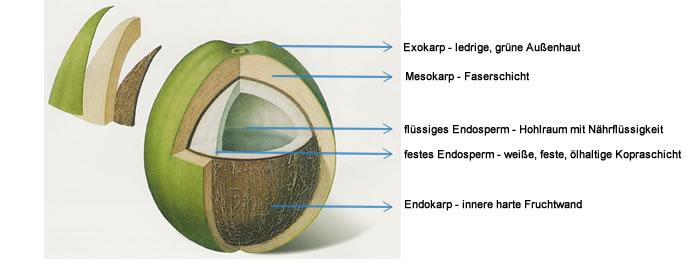Quelle: http://www.kopfnuss.me/blog/kokoswasser-die-basis-fuer-unsere-kopfnuss/