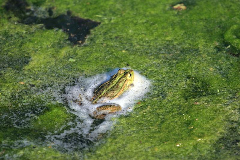 frosch-schaum2